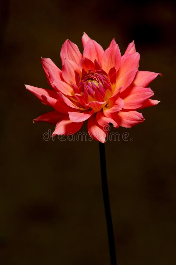 Free Red Flower Stock Image - 12026681