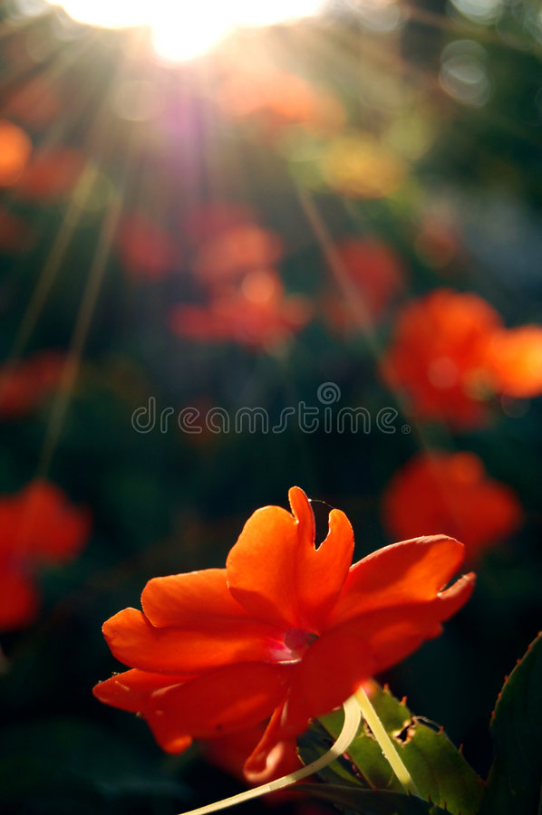 Red flower. Basking in the sun's rays royalty free stock photo
