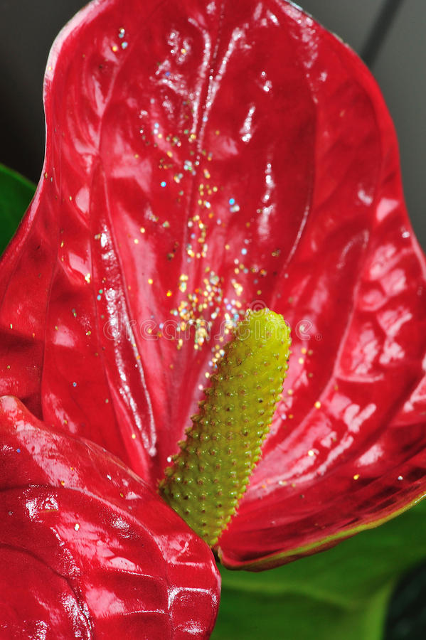 Download Red flower 2 stock photo. Image of holiday, botanical - 12125916