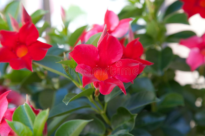 Download Red Flower stock image. Image of head, growth, bloom - 28618589