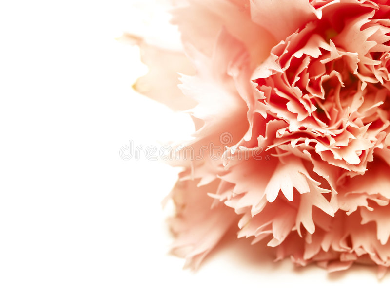 Red flower. A single red flower in white background royalty free stock image