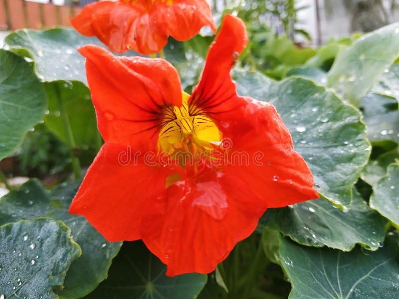 Red flower the background green leaves water drop. Spain photo taken in 2019 stock photos