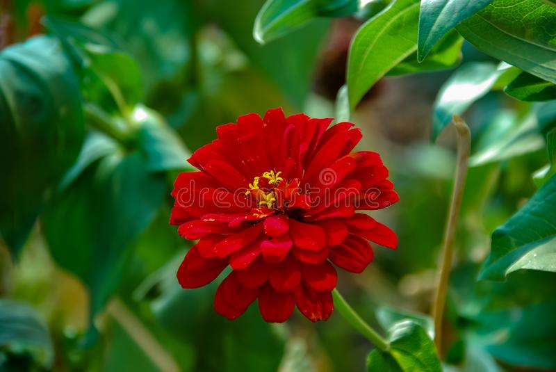 Red flower on a background of a green meadow stock photos