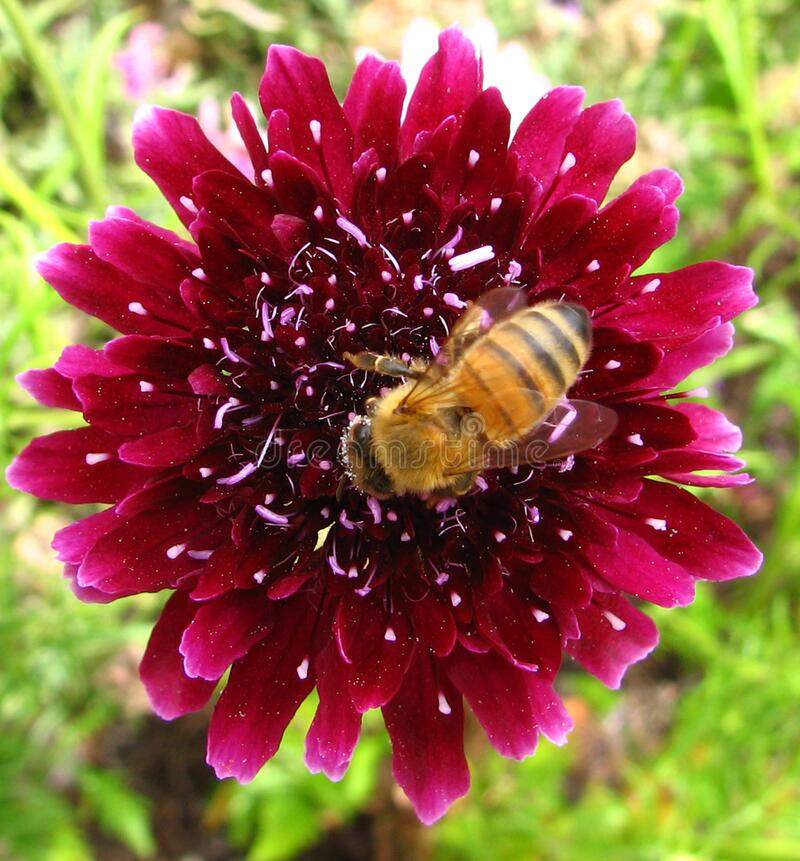 red flower with bee royalty free stock photos