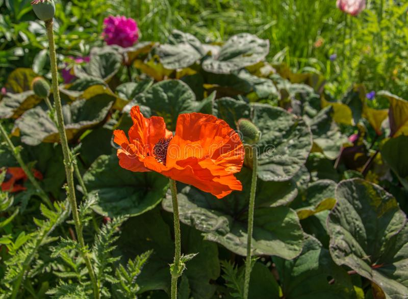 Red flower of blooming poppy on a background of green leaves. stock photos