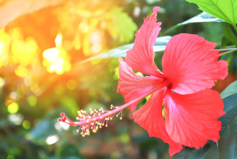 Red  hibicus  flower blooming at sunrise stock images