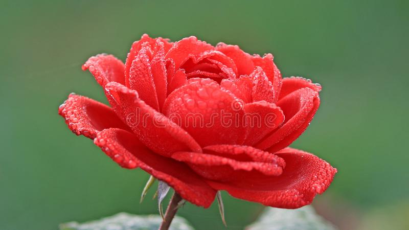 Red flower in blossom with dew stock photos