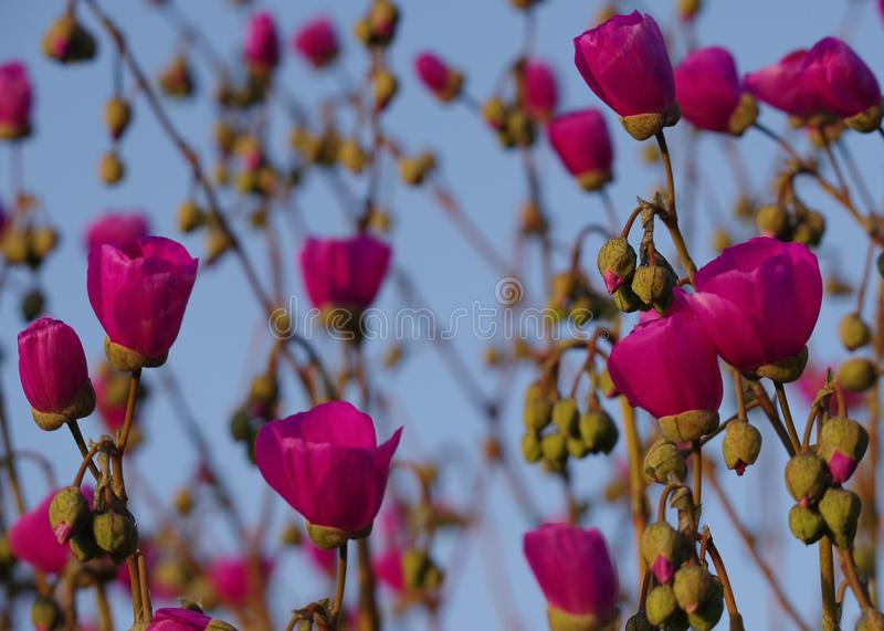 Red flower pattern 2: blossoms, buds, stems, sky. Red flower blossoms and unopened buds in foreground are in sharp focus, with same kind of flowers and buds royalty free stock image