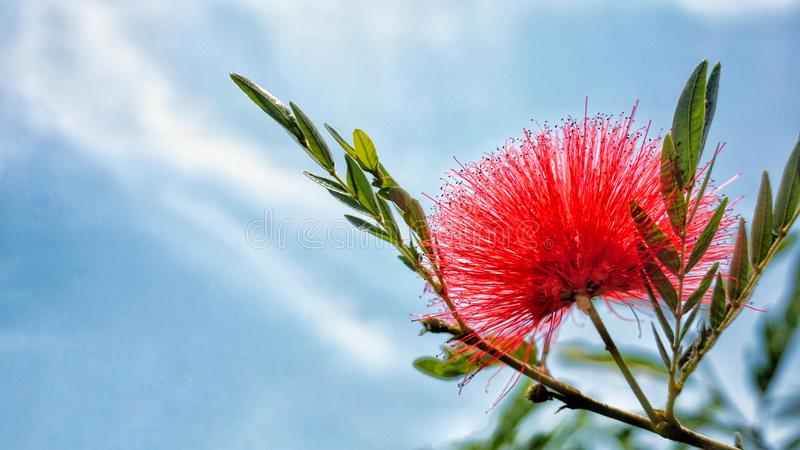 Red flower and blue sky background. Close up red flower and blue sky background royalty free stock images