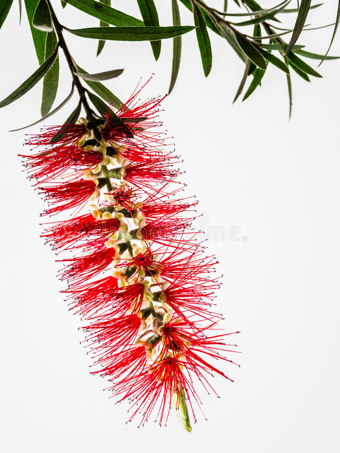 Free Red Flower Bottle Brush, Callistemon Citrinus Stock Image - 61570141