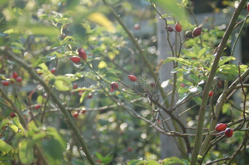 Red flower buds in a field of stems. Red flower buds that have not bloomed are growing in what looks like a rose bed of vines and stems stock photography