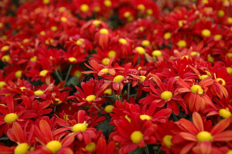 Red Flower Bunch stock photos