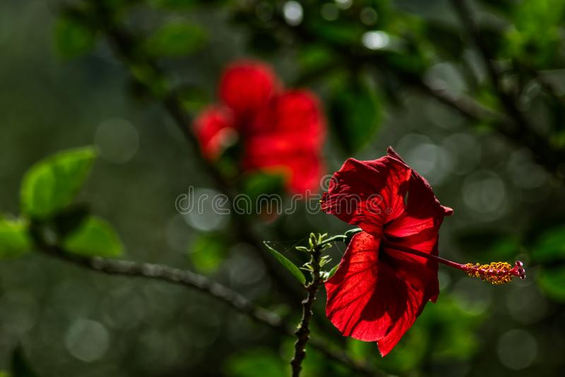 Red flower of Chinese hibiscus stock images