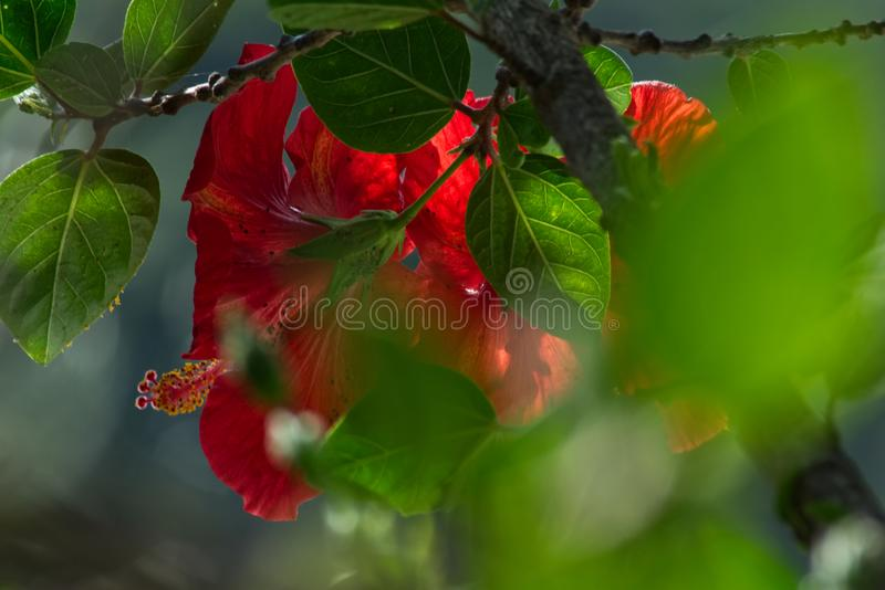 Red flower of Chinese hibiscus royalty free stock images