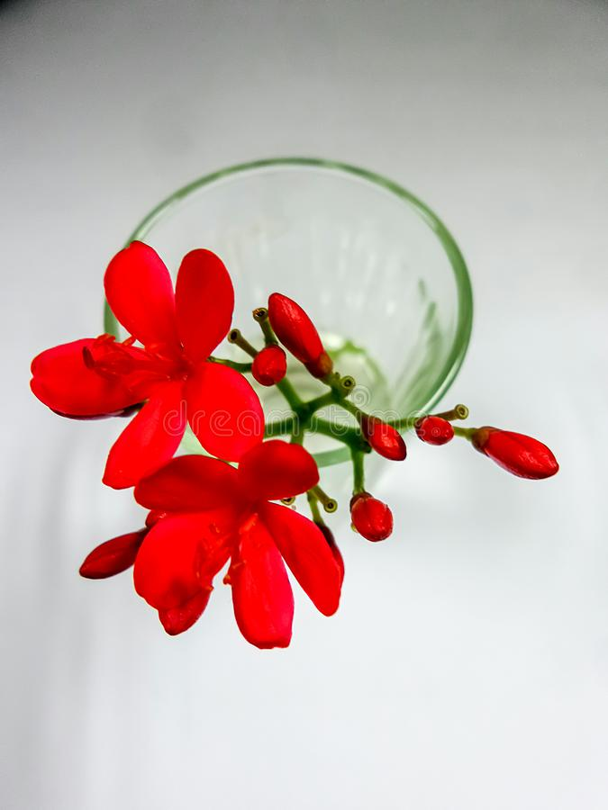 Red flower in clear glass vase. On white background stock photography