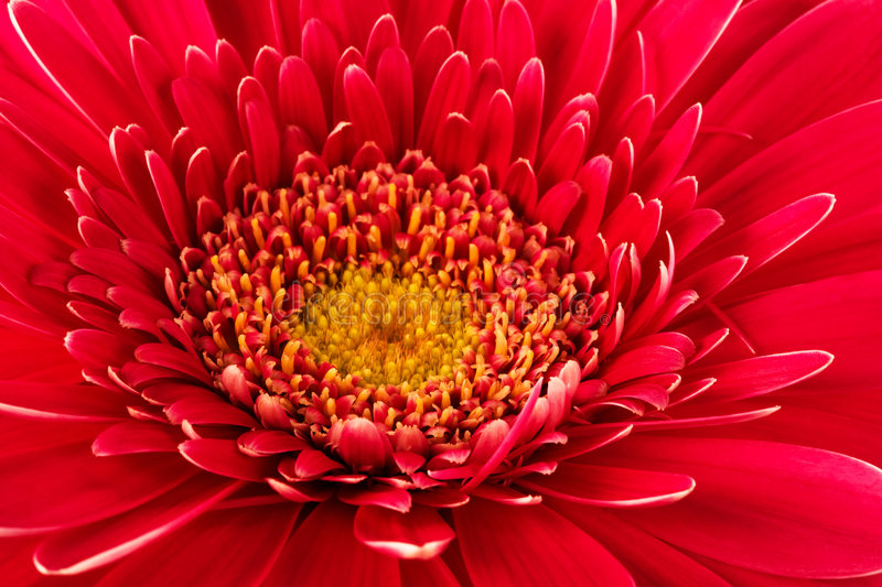 Red flower close-up royalty free stock image
