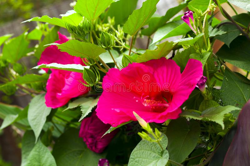 Red flower close up. Beautiful tropical pink flower close up stock photography