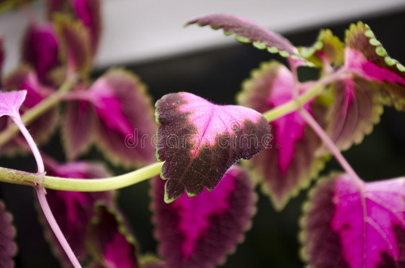 Red flower Coleus stock photography