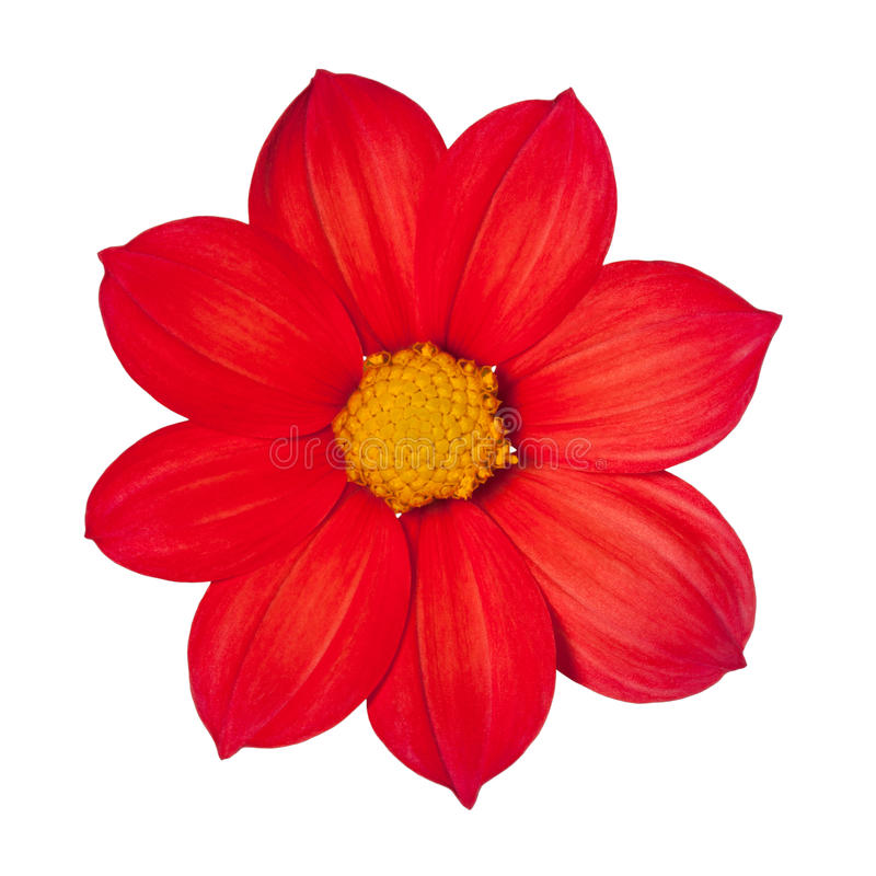 Red flower dahlia annually. On a white background stock images