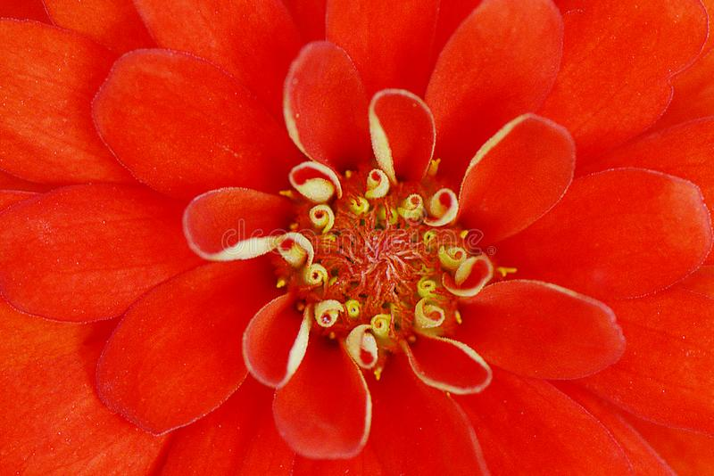 Red flower detail royalty free stock photo