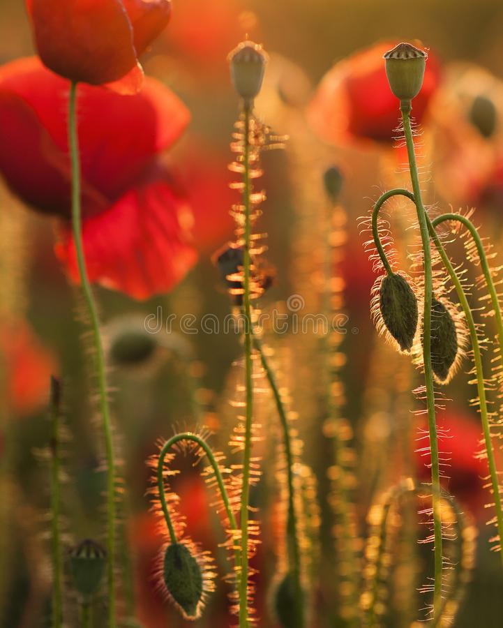 Red, Flower, Flora, Poppy royalty free stock photography