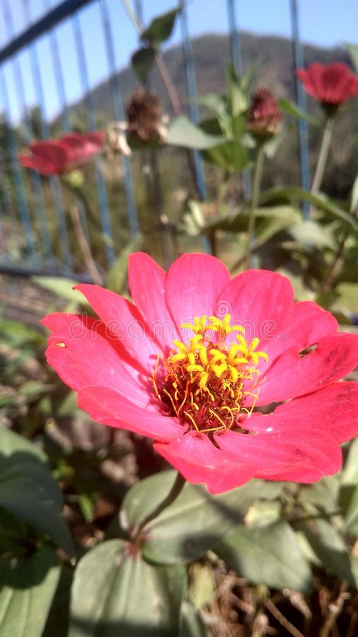 Red flower in the garden. Colorful, close, closeup, beautiful, nice, nature, romantic royalty free stock image