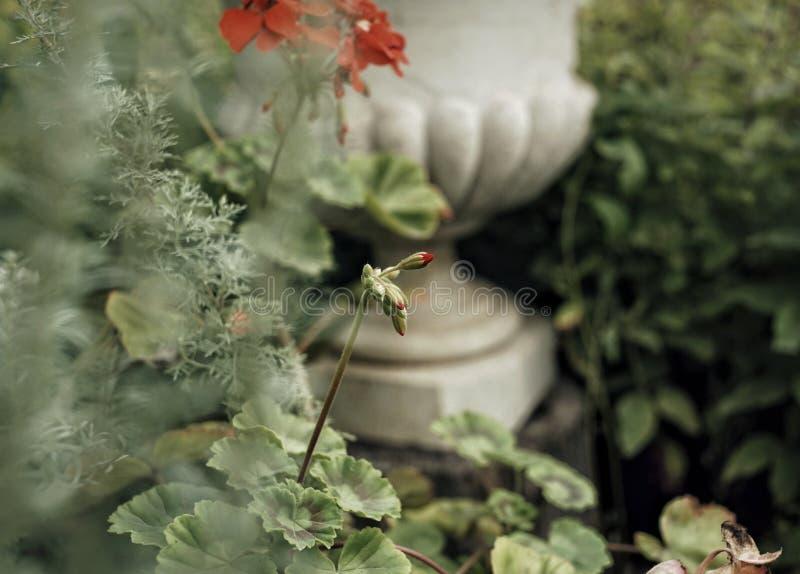 red flower green leaf geranium close-up vase garden outdoor stock photos