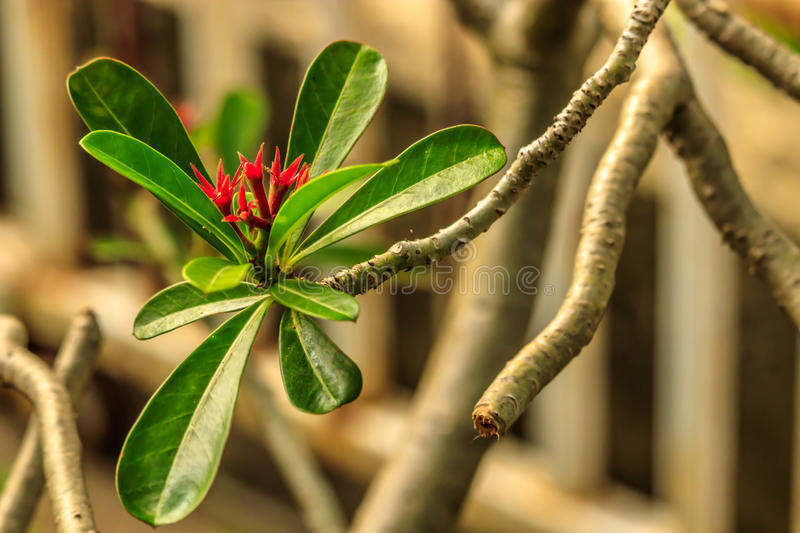 Red flower and green leaf in a house garden royalty free stock image