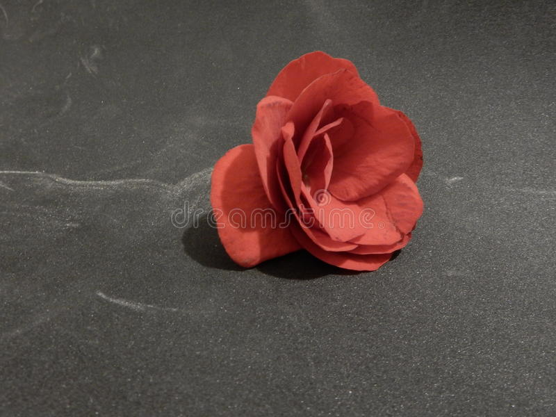 Red flower on grey background royalty free stock photo