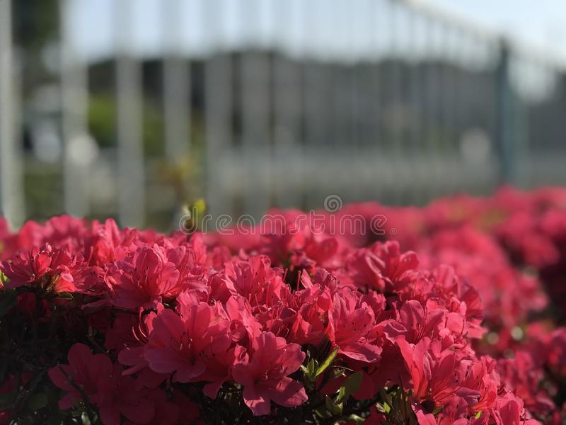 Red flower of Hachioji city in japan royalty free stock photography