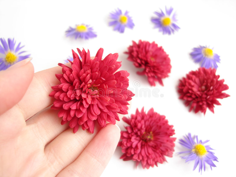 Red flower in a hand over white background with flowers royalty free stock photo