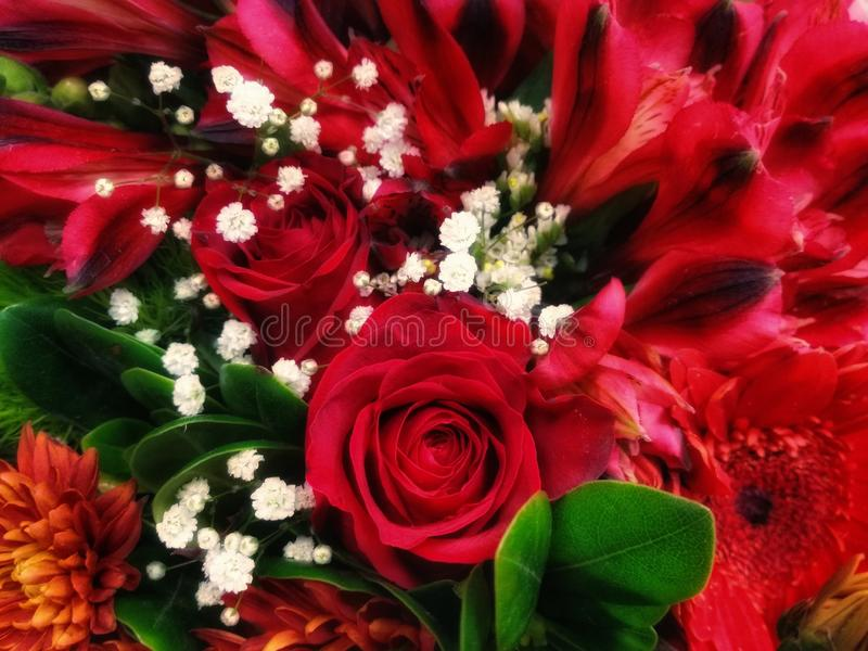 Red Flower Happiness in Bloom with green leaf and little white flowers. Red roses, florist, flower market, bouquet, beauty, nature, blooming, rose royalty free stock photo