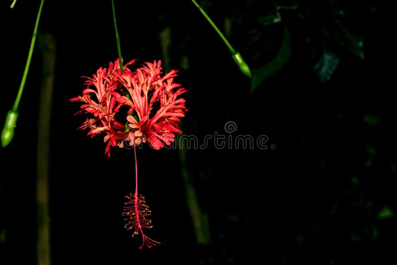 Red flower of Hibiscus schizopetalus royalty free stock images