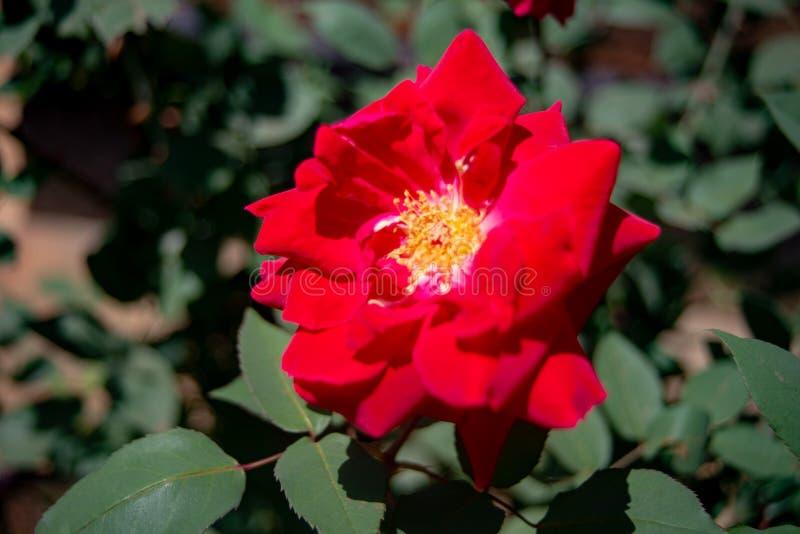 Red flower Ina a garden in Nyeri Kenya. Red flower In a garden in Nyeri Kenya royalty free stock photos