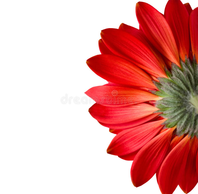 Red Flower Isolated On White Stock Photo