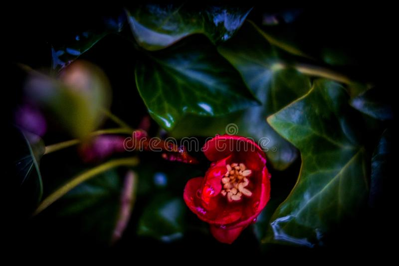 Red flower between leaves stock photos