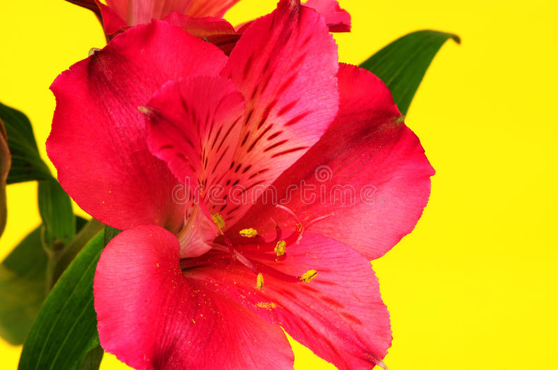 Red Flower Macro. Isolated over a yellow background stock image