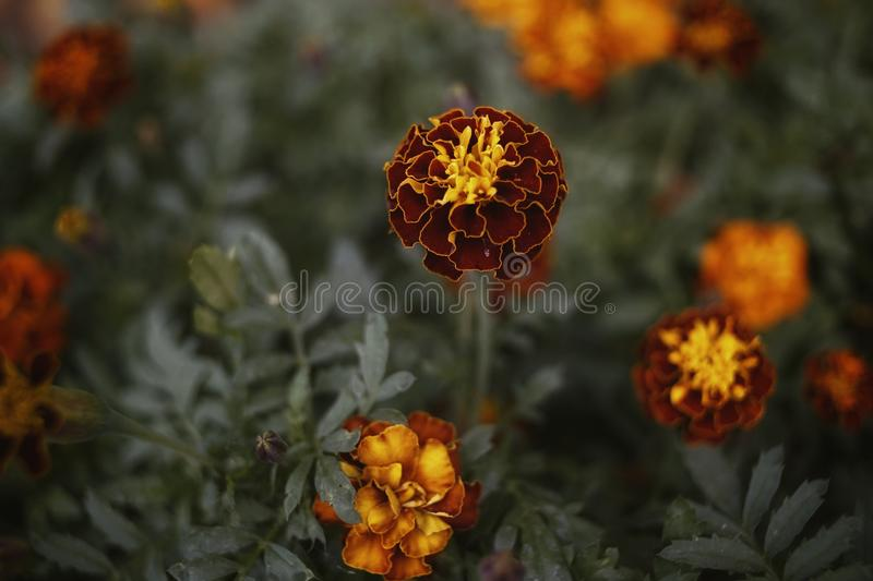 red flower marigold close-up macro texture abstract stock image