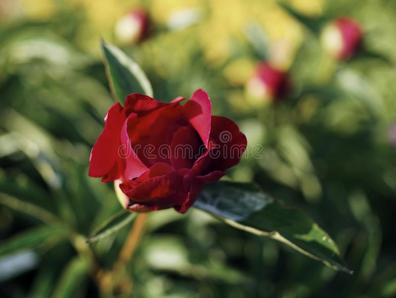 Red flower peony close-up green leaves blur background sunlight. Red flower peony close-up green leaves blur background garden nature close-up outdoors summer royalty free stock images