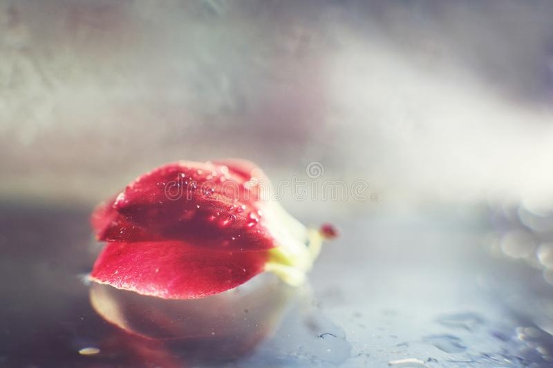 Red  flower petal with a drop of water royalty free stock photo