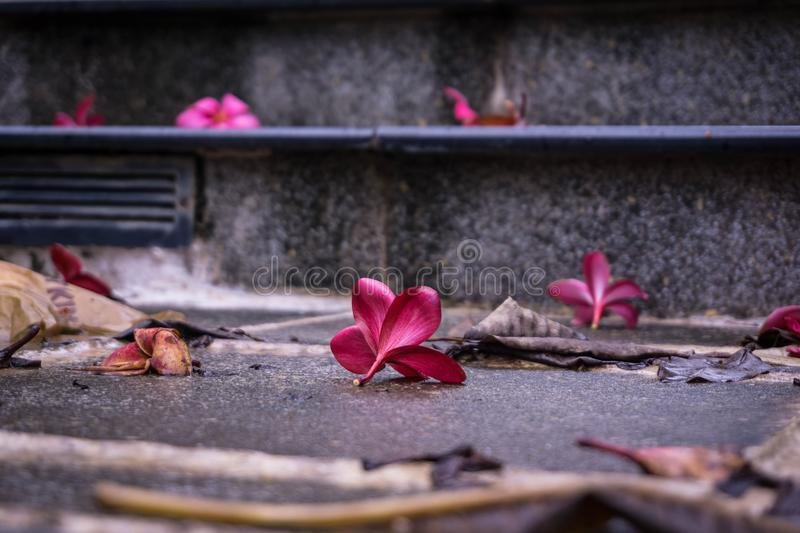 Red Flower Petals On A Wet Stair. A red flower petals fall on the wet stair after the rain in the morning stock photo