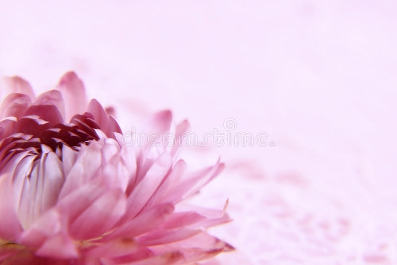 Red flower on pink royalty free stock photography