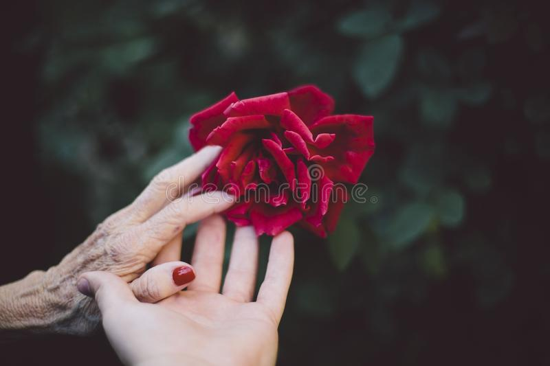 Red, Flower, Pink, Hand stock image