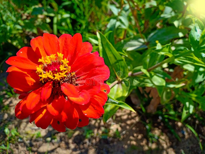 Red flower in plant. A big flower is red stock photo