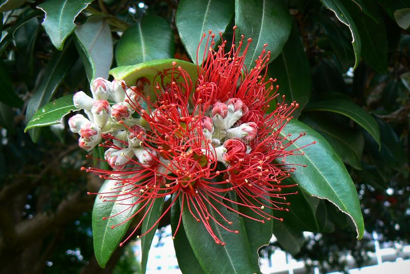 Red flower of the pohutukawa aka New Zealand Christmas tree or metrosideros excelsa, North Island. Red flower of the blooming pohutukawa aka New Zealand royalty free stock images