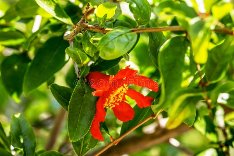 Red flower pomegranate  on a tree. pomegranate flowering, harvest ripening, Ripening pomegranate. Soft focus royalty free stock image