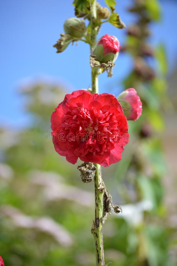 Download Red Flower - Portmerion Village In Wales Stock Photo - Image of gwynedd, gardens: 91015090