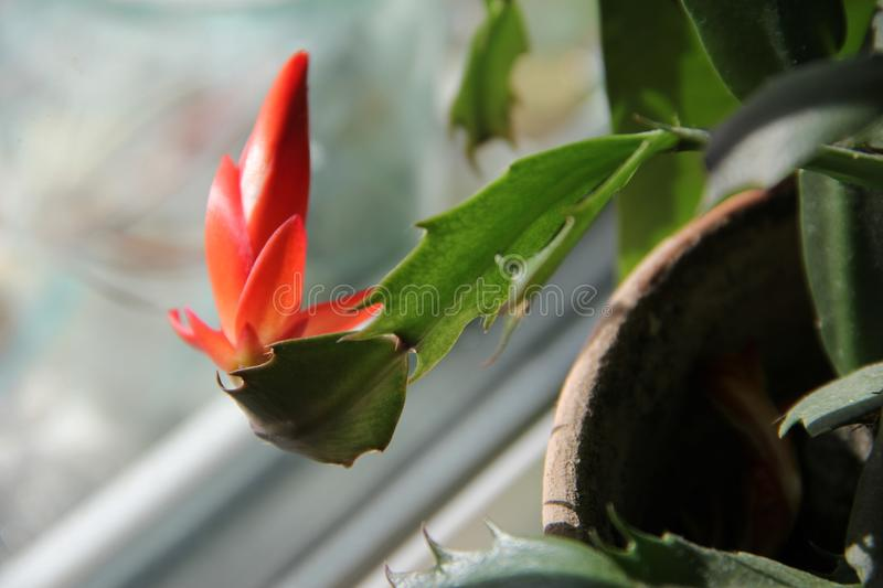 Red flower in a pot on the windowsill stock photos