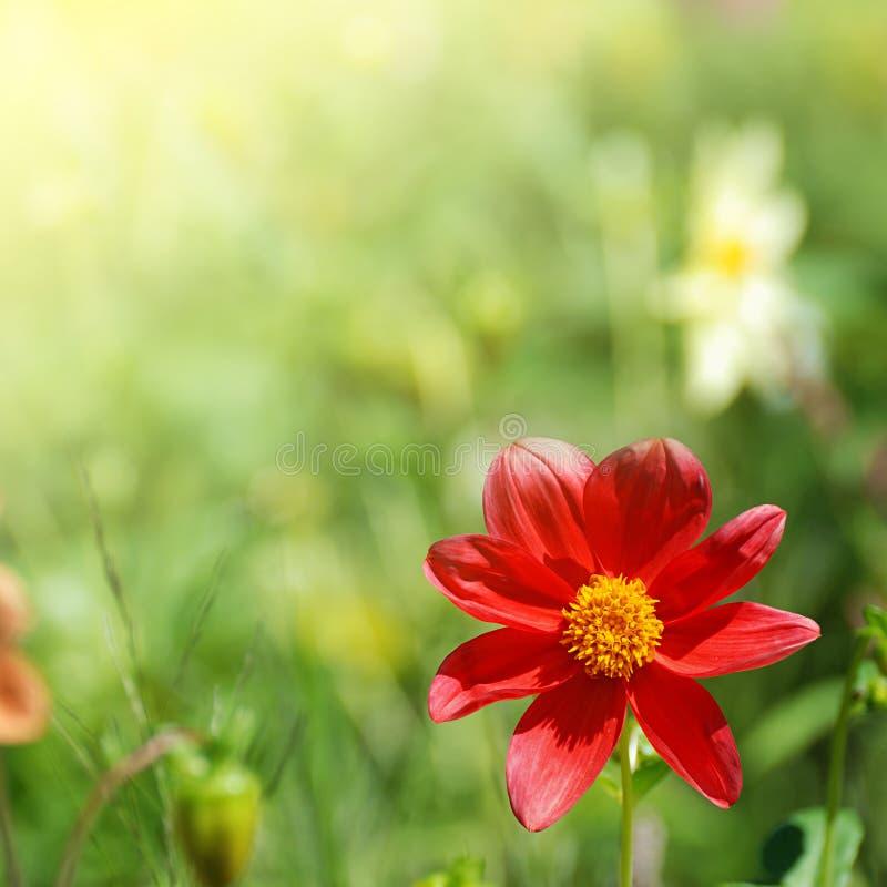 Red flower in sunlight