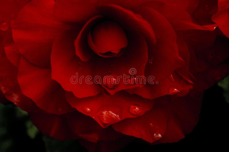 Red flower tears royalty free stock photography